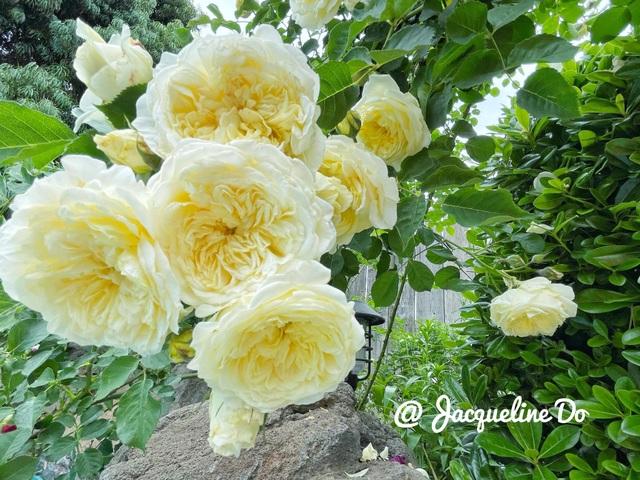 Ngắm vườn ngàn gốc hoa khoe sắc quanh năm của mẹ Việt ở Mỹ - 8