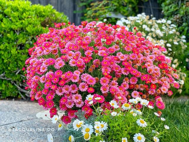Ngắm vườn ngàn gốc hoa khoe sắc quanh năm của mẹ Việt ở Mỹ - 13