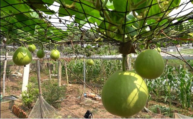 Giàn bầu cho trái khổng lồ nặng 15kg/ quả độc lạ ở Hải Phòng - 4