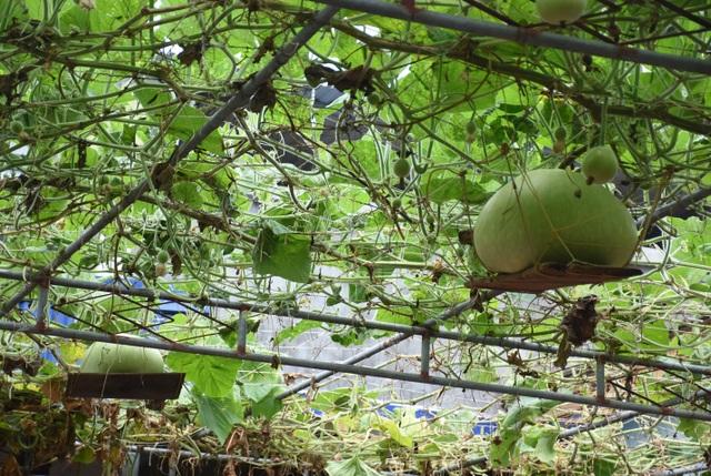 Giàn bầu cho trái khổng lồ nặng 15kg/ quả độc lạ ở Hải Phòng - 5