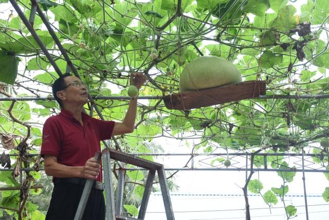 Giàn bầu cho trái khổng lồ nặng 15kg/ quả độc lạ ở Hải Phòng - 8