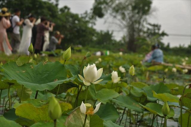 Hà Nội: Kiếm tiền triệu từ nghề trồng hoa sen trắng - 6