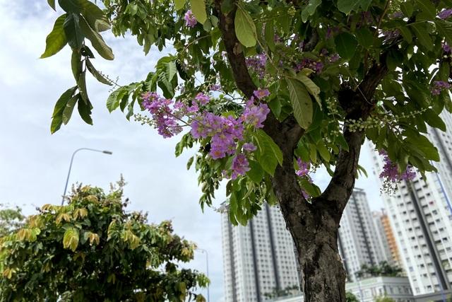 Hoa bằng lăng rực nở, nhuộm tím đường phố Sài Gòn - 8