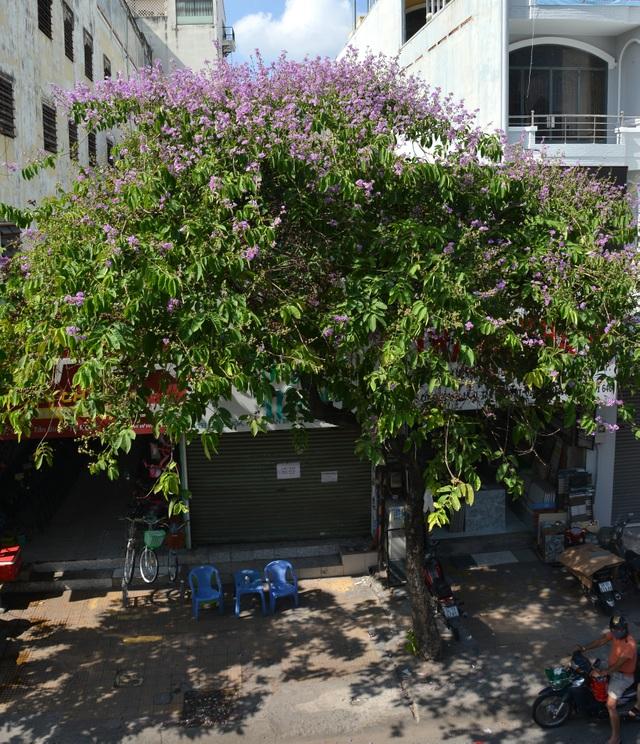 Hoa bằng lăng rực nở, nhuộm tím đường phố Sài Gòn - 6