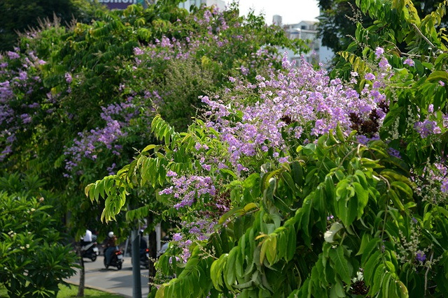 Hoa bằng lăng rực nở, nhuộm tím đường phố Sài Gòn - 5