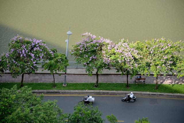 Hoa bằng lăng rực nở, nhuộm tím đường phố Sài Gòn - 10