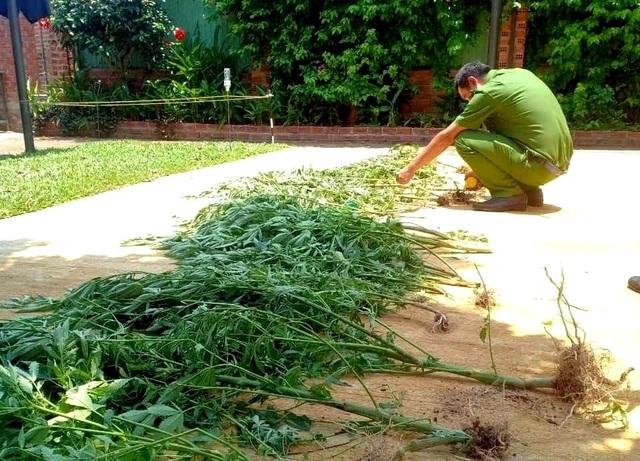 Người phụ nữ trồng hàng chục cây cần sa để… chữa mất ngủ? - 2