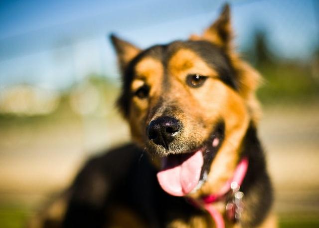 Chó có thể ngửi và nghe được bao xa? - 1