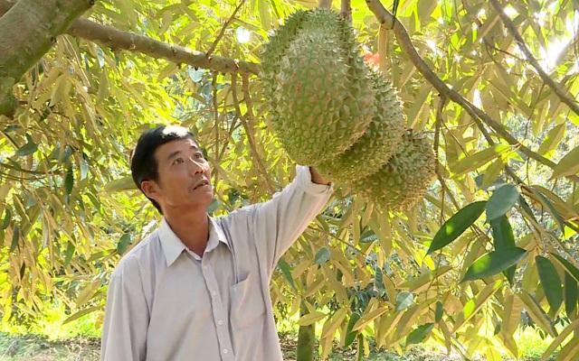 Làm chủ kỹ thuật trồng sầu riêng chín sớm, nhiều chủ vườn ăn trước phần thiên hạ - 1