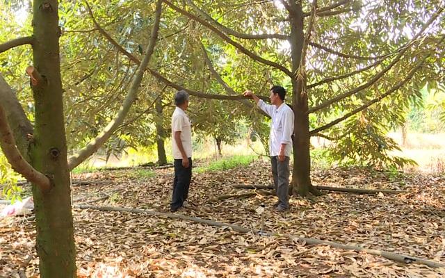 Làm chủ kỹ thuật trồng sầu riêng chín sớm, nhiều chủ vườn ăn trước phần thiên hạ - 2