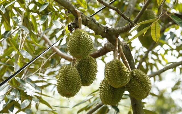 Làm chủ kỹ thuật trồng sầu riêng chín sớm, nhiều chủ vườn ăn trước phần thiên hạ - 3