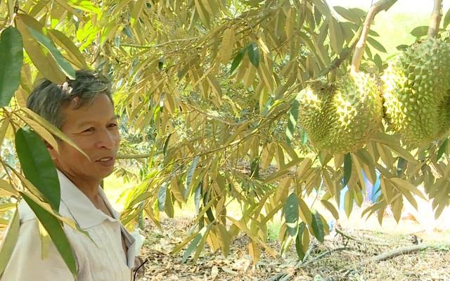 Làm chủ kỹ thuật trồng sầu riêng chín sớm, nhiều chủ vườn ăn trước phần thiên hạ - 4