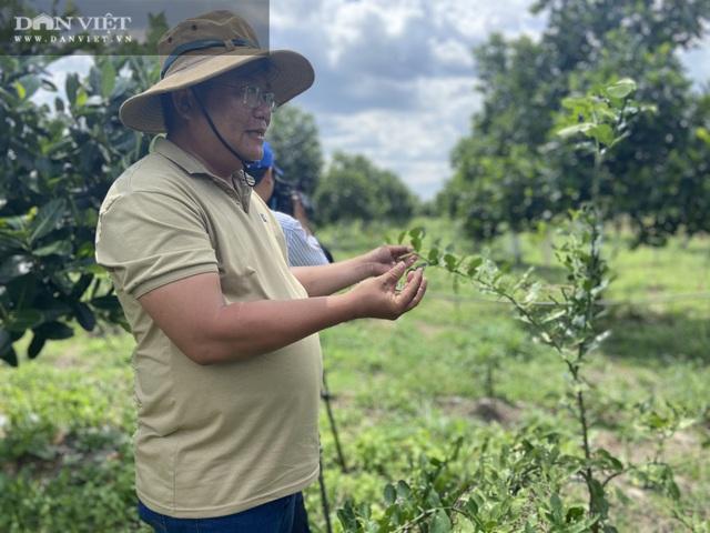 Vườn chanh Thái trồng chỉ để bán lá thu tiền tỷ của anh nông dân ở Đồng Nai - 7