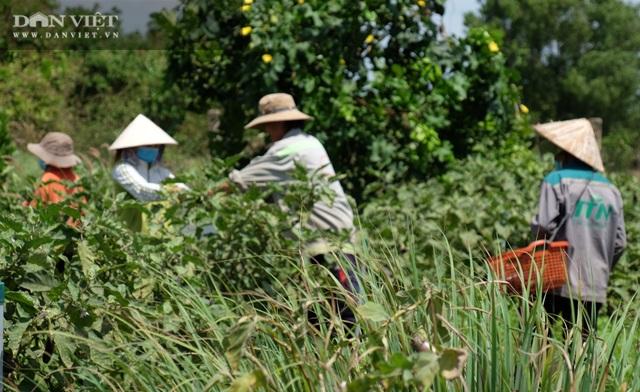 Vườn chanh Thái trồng chỉ để bán lá thu tiền tỷ của anh nông dân ở Đồng Nai - 8