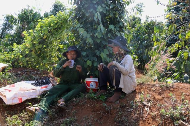 Tai nạn lao động khi hái hồ tiêu gia tăng tại Tây Nguyên - 4