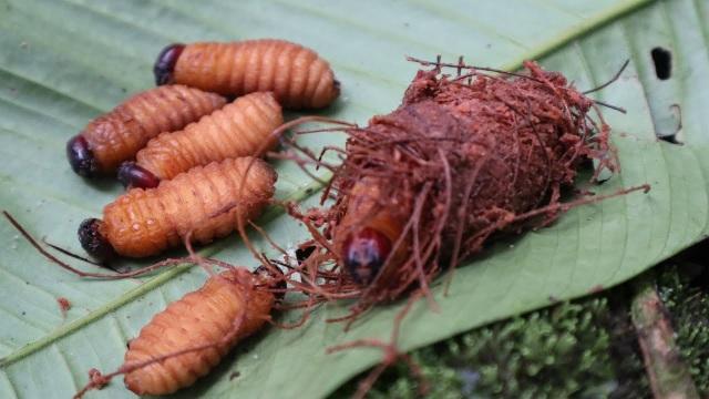 Lào Cai: Ăn sâu cọ bị ngộ độc phải vào viện cấp cứu - 2
