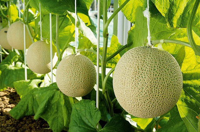Nông dân cho dưa nằm điều hòa, có thành quả siêu đắt đỏ khi bán ra - 2