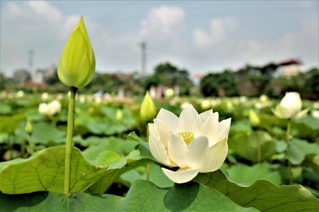 Hà Nội: Kiếm tiền triệu từ nghề trồng hoa sen trắng - 2