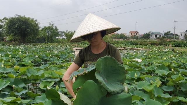Hà Nội: Kiếm tiền triệu từ nghề trồng hoa sen trắng - 3