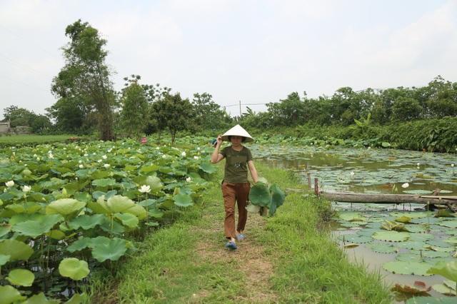Hà Nội: Kiếm tiền triệu từ nghề trồng hoa sen trắng - 9
