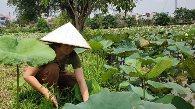 Hà Nội: Kiếm tiền triệu từ nghề trồng hoa sen trắng - 5