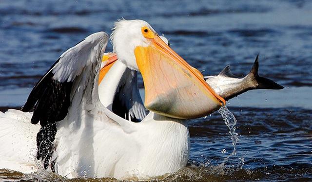 Loài vật nào có cái miệng lớn nhất hành tinh? - 3