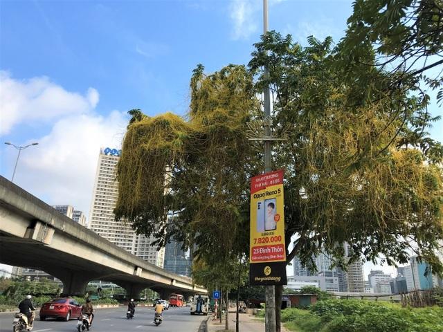 Hà Nội: Dây tơ hồng quấn như ma trận đe dọa một loạt cây xanh - 1