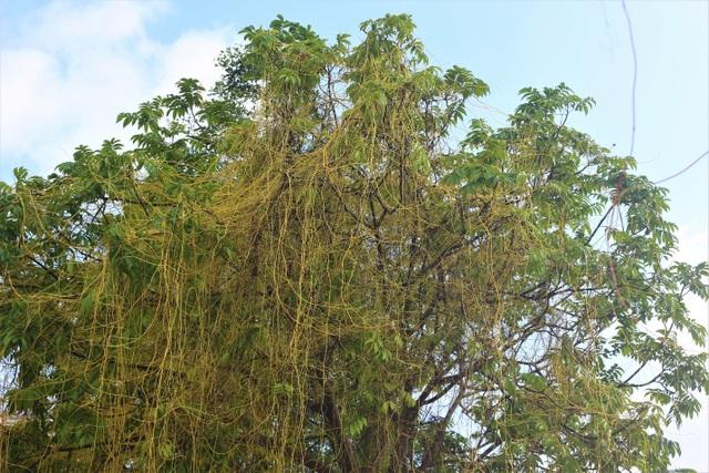 Hà Nội: Dây tơ hồng quấn như ma trận đe dọa một loạt cây xanh - 2