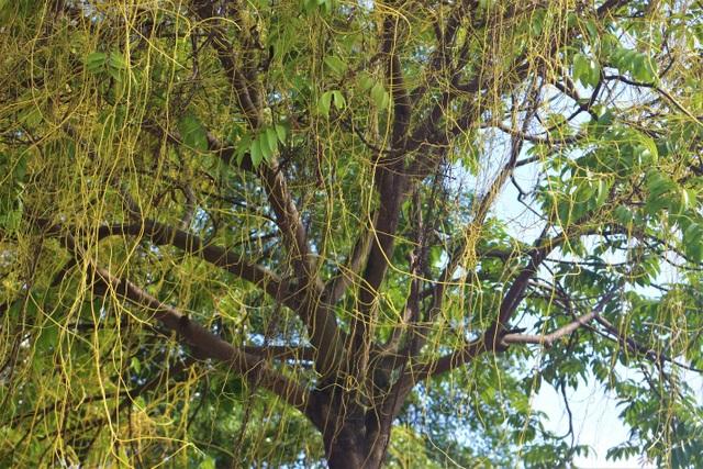 Hà Nội: Dây tơ hồng quấn như ma trận đe dọa một loạt cây xanh - 3