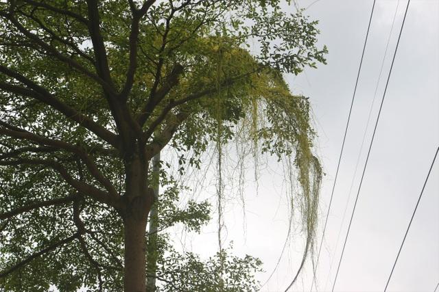 Hà Nội: Dây tơ hồng quấn như ma trận đe dọa một loạt cây xanh - 4