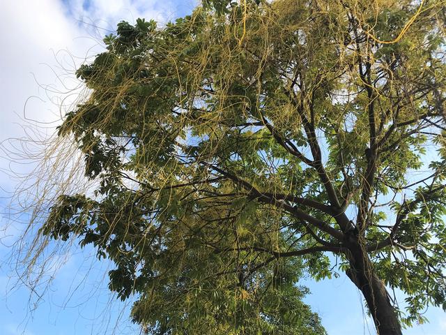 Hà Nội: Dây tơ hồng quấn như ma trận đe dọa một loạt cây xanh - 7
