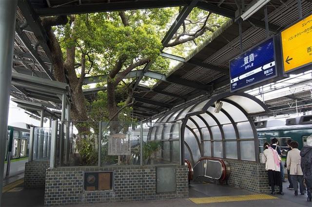 Ga tàu điện ngầm xây dựng quanh cây long não 700 năm tuổi ở Nhật Bản - 3