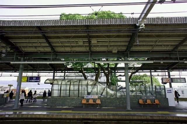 Ga tàu điện ngầm xây dựng quanh cây long não 700 năm tuổi ở Nhật Bản - 4