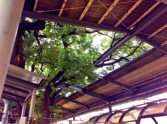 Ga tàu điện ngầm xây dựng quanh cây long não 700 năm tuổi ở Nhật Bản - 1