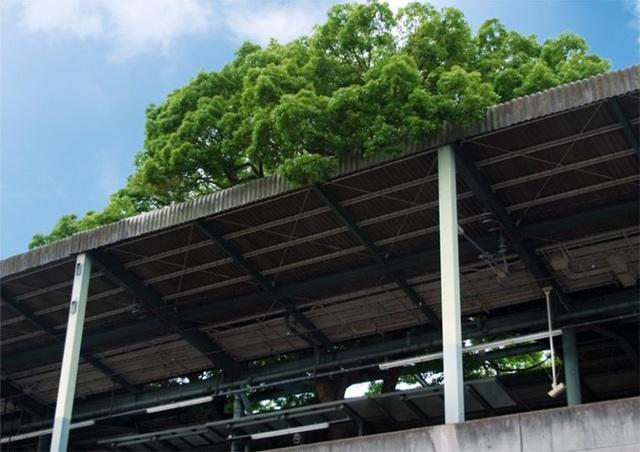 Ga tàu điện ngầm xây dựng quanh cây long não 700 năm tuổi ở Nhật Bản - 5