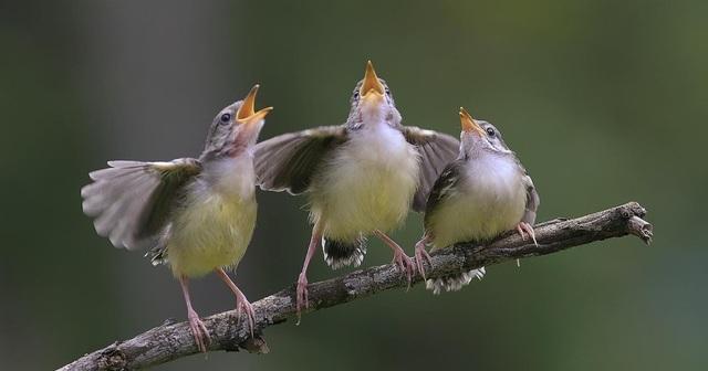 Tiếng hót của chim có ý nghĩa gì? - 1