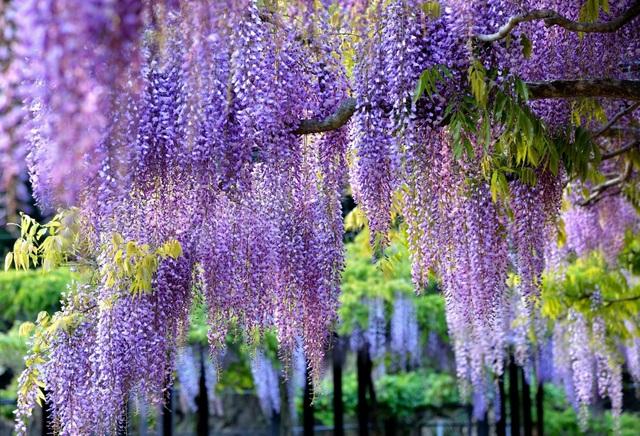 Ghé thăm những cánh đồng hoa xuân đẹp ngoạn mục ở Kansai - 6