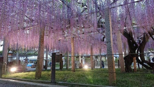 Ghé thăm những cánh đồng hoa xuân đẹp ngoạn mục ở Kansai - 5