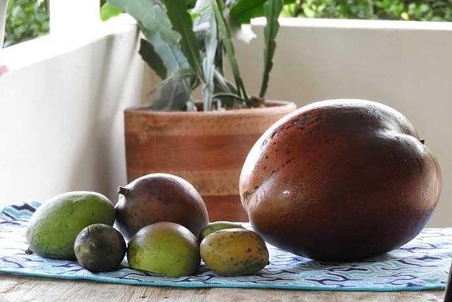 Vợ chồng nông dân thu trái xoài khủng 4,25kg lập kỷ lục thế giới - 1