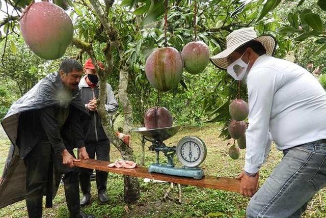 Vợ chồng nông dân thu trái xoài khủng 4,25kg lập kỷ lục thế giới - 2