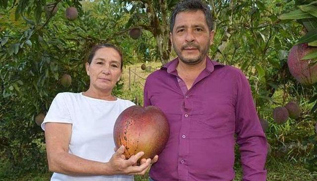 Vợ chồng nông dân thu trái xoài khủng 4,25kg lập kỷ lục thế giới - 3