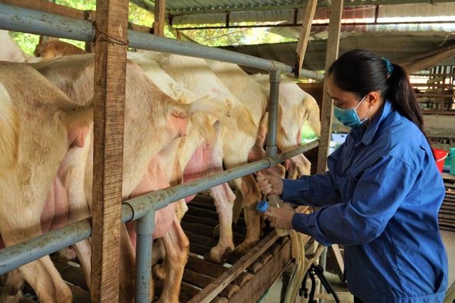 Nuôi dê lấy sữa, nông dân ở Hậu Giang bỏ túi hàng trăm triệu đồng mỗi năm - 2
