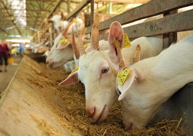 Nuôi dê lấy sữa, nông dân ở Hậu Giang bỏ túi hàng trăm triệu đồng mỗi năm - 3