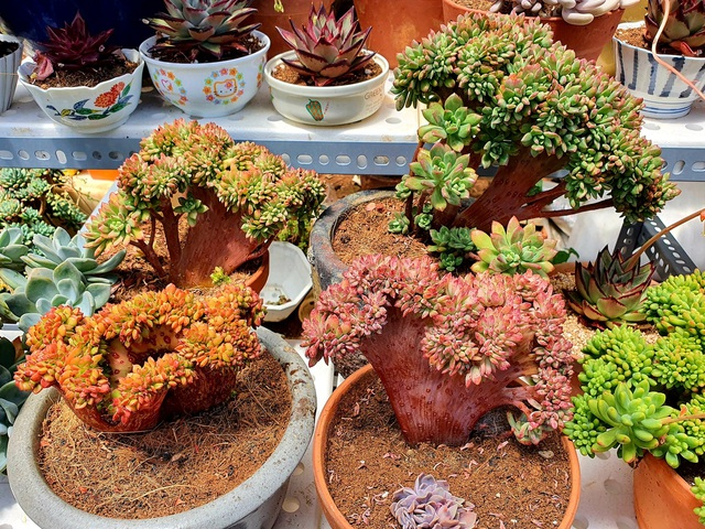 Chiêm ngưỡng vườn sen đá với 200 loài độc lạ của 8X Đà Lạt - 4