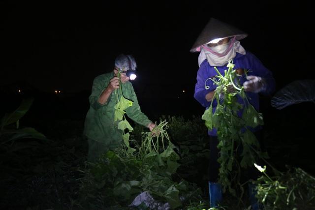 Hà Nội: Dậy từ 1h cắt rau bí, người trồng rau thu hàng chục triệu đồng/vụ - 7
