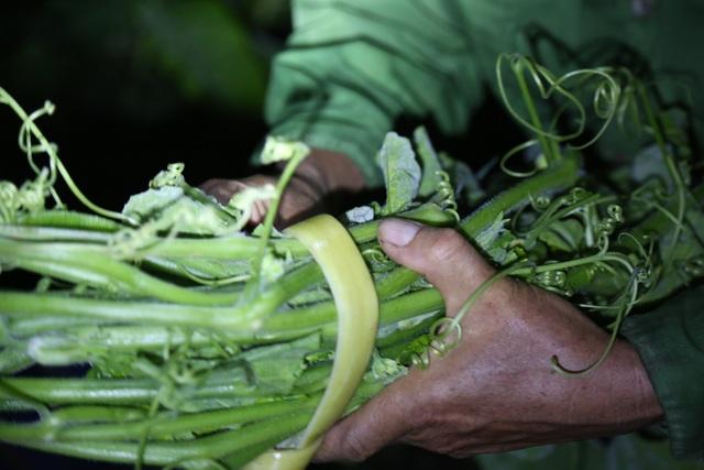 Hà Nội: Dậy từ 1h cắt rau bí, người trồng rau thu hàng chục triệu đồng/vụ - 6