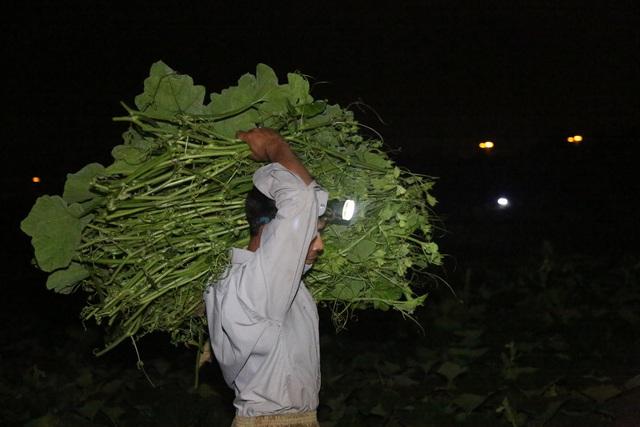 Hà Nội: Dậy từ 1h cắt rau bí, người trồng rau thu hàng chục triệu đồng/vụ - 3