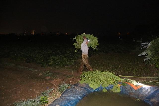 Hà Nội: Dậy từ 1h cắt rau bí, người trồng rau thu hàng chục triệu đồng/vụ - 5