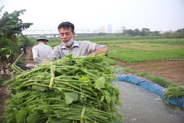 Hà Nội: Dậy từ 1h cắt rau bí, người trồng rau thu hàng chục triệu đồng/vụ - 8