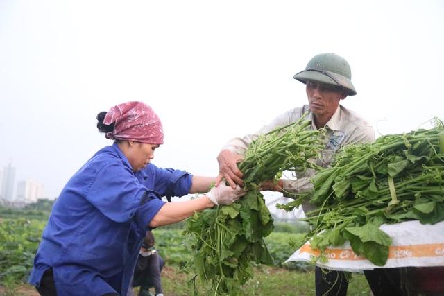 Hà Nội: Dậy từ 1h cắt rau bí, người trồng rau thu hàng chục triệu đồng/vụ - 9